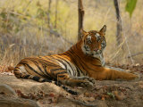 Bengal Tiger  Female Resting  Madhya Pradesh  India