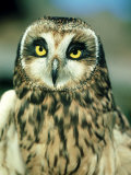 Short-Eared Owl  Portrait  USA