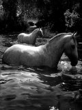 2 White Horses in Water