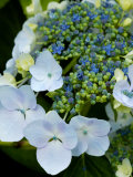 Hydrangea Macrophylla Normalis (Lacecap Hydrangea)