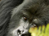 Mountain Gorilla  Close-up of Face Looking Through Fern  Africa