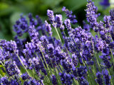 Lavandula Angustifolia (Lavender)  Blue Flowers in Dappled Sunlight