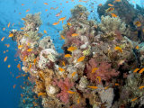 Soft Corals  St Johns Reef  Red Sea