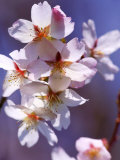 Prunus Hillieri (Ornamental Cherry)