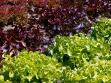 Lettuce Red Salad Bowl  Lollo Rossa and Salad Bowl Green  Collection of Coloured Curley Leaves