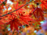 Acer Palmatum Atropurpureum (Blood-Leaf Japenese Maple)