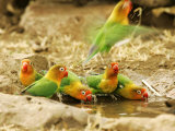 Fishers Lovebirds  Tanzania  Africa