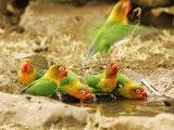 Fishers Lovebirds  Tanzania  Africa