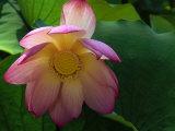 Lotus Flower  Echo Park Lake  Los Angeles  CA