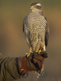 Goshawk  Adult Perched on Falconers Glove  Scotland