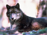 Eastern Timber Wolf (Canis Lupus)