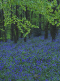 Bluebells  En Masse in Beech Woodland  UK