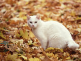 White Cat in Autumn Leaves