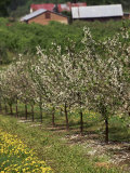 Spring in Apple Orchard  Lublin Upland  Malopolska