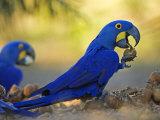 Hyacinth Macaws  Parrots Eating Brazil Nuts  Brazil