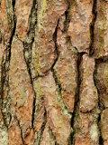 Pinus Sylvestris (Scots Pine)  Bark