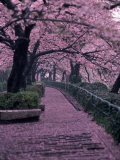 Garden Walkway  Trees in Blossom  Tokyo  Japan