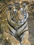 Bengal Tiger  Portrait of Male Tiger  Madhya Pradesh  India