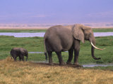 Kenya  Amboseli National Park  Elephant with Offspring