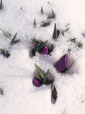 Purple Flowers in Snow