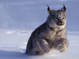 Canada Lynxlynx Canadensisrunning Through Snow