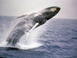 Humpback Whale