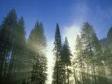 Lightbeams Streaming Through Pine Trees at Sunrise  Yosemite National Park  CA