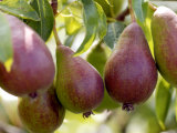 Pear (Pyrus Glou Morceau)  Close-up of Purple Fruits Growing on the Tree