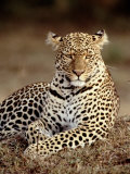 Leopard  East Africa