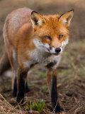 Red Fox  Head on Full-Body Portrait  Lancashire  UK