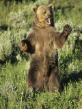 Grizzly Bear Bear Standing  USA