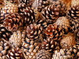 Pine Cone Background