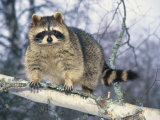 Montana  Raccoon