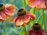 Helenium (Sahins Early)