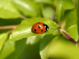 7-Spot Ladybird  Basking on Hawthorn Leaf  Middlesex  UK