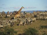 Kenya  Masia Giraffe and Herd of Zebra
