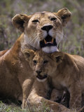 African Lion and Lion Cub  Panthera Leo