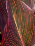 Canna Leaf  Close-up