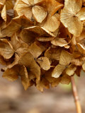 Hydrangea  Dried Flower Head  March