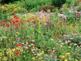 Annual Border with Papaver  Osteospermum  Gazania  Oenothera & Verbena  August  Devon