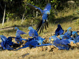 Hyacinth Macaws  Flock of Parrots Eating Brazil Nuts  Brazil