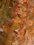 Acer Griseum (Paperbark Maple) Close-up of Peeling Bark  March