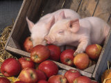 Mixed Breed Piglets in Apple Cart