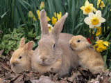 Palomino Rabbits