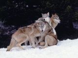 Gray Wolves Cuddling and Playing