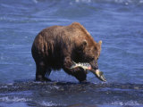 Grizzly Bear with Salmon in Mouth  Alaska
