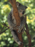 Koala Sleeping in a Tree  Australia