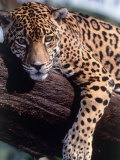Jaguar Lying on a Tree Limb  Belize