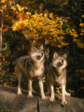 Two Alert Timber Wolves Standing on a Rock