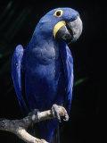 Hyacinth Macaw (Anodorhynchus Hyacinthus)